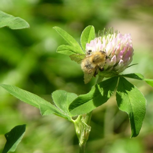 bee and red clover