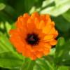 marigold and pollinator1